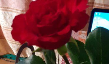 Rosa rossa per un principe